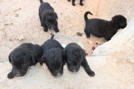 Anneleri kaybolan 10 yavru köpeği marketten aldığı sütle beslemeye çalışıyor
