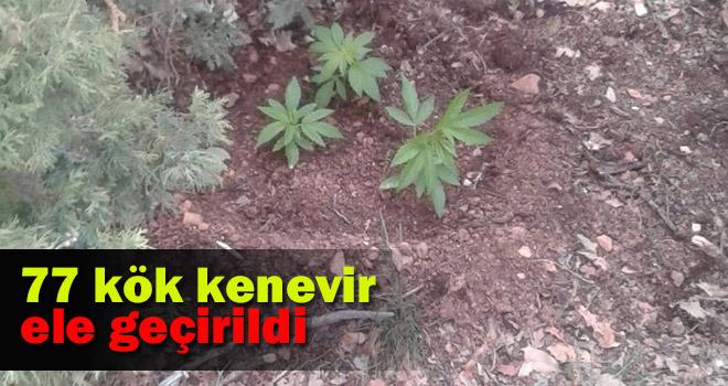Karaman'da mezarlığa ekilmiş 77 kök kenevir ele geçirildi