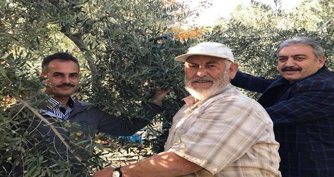 Karaman'da zeytin hasadı başladı